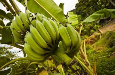 tropical fruit bali banana