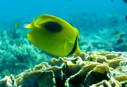 Bali, snorkeling at Menjangan with Butterfly fish